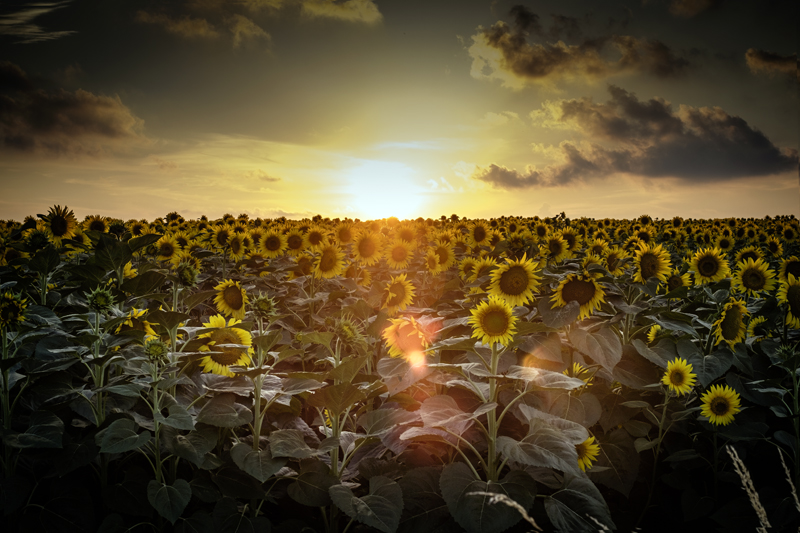 sunflowers bulgaria