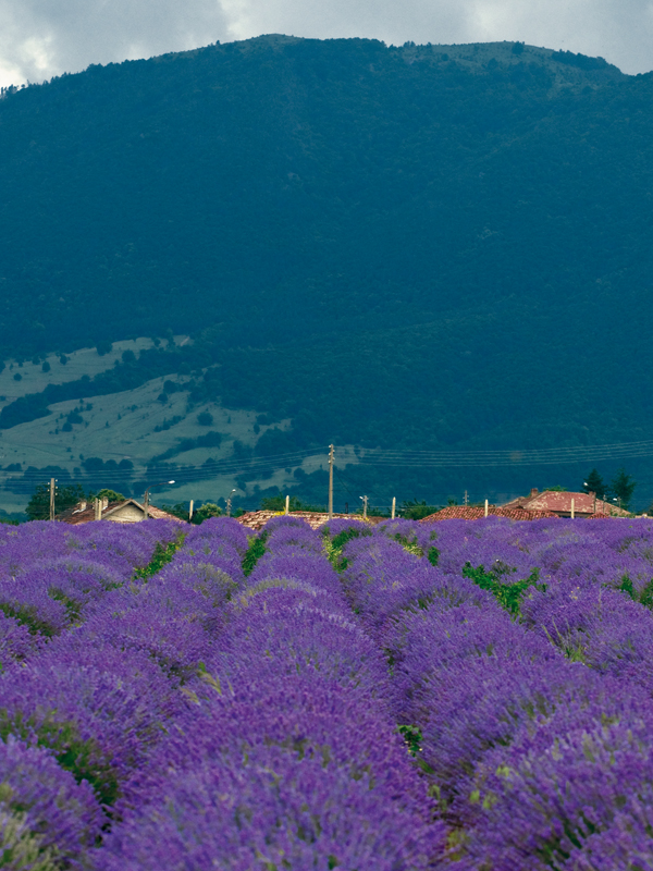 80-90 percent of Bulgarian lavender oil is for export