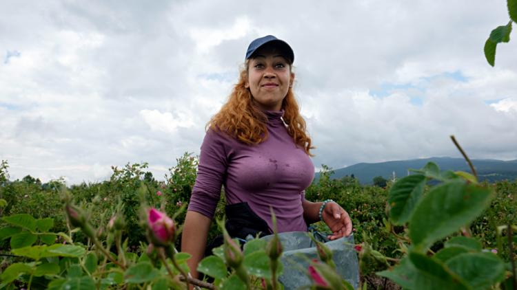 rose picking bulgaria.jpg
